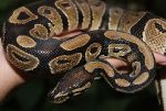 Продажа рептилий от питомника reptileworld