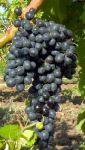 Столовый и винный виноград (оптом)
