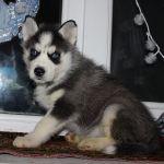 Один и женские Сибирский хаски щенки