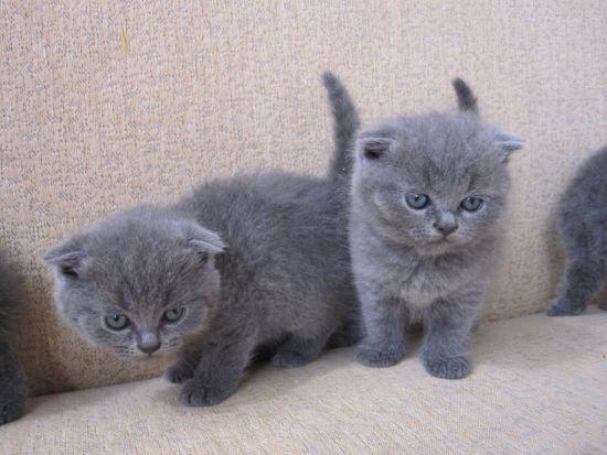 британские вислоухие цена котята фото
