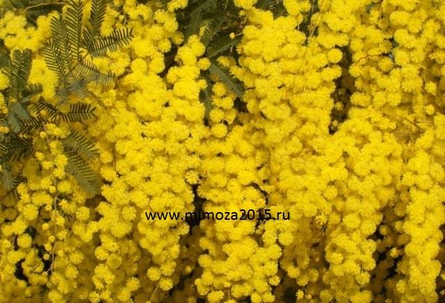Екатеринбург где купить мимозы живые цветы спб купить